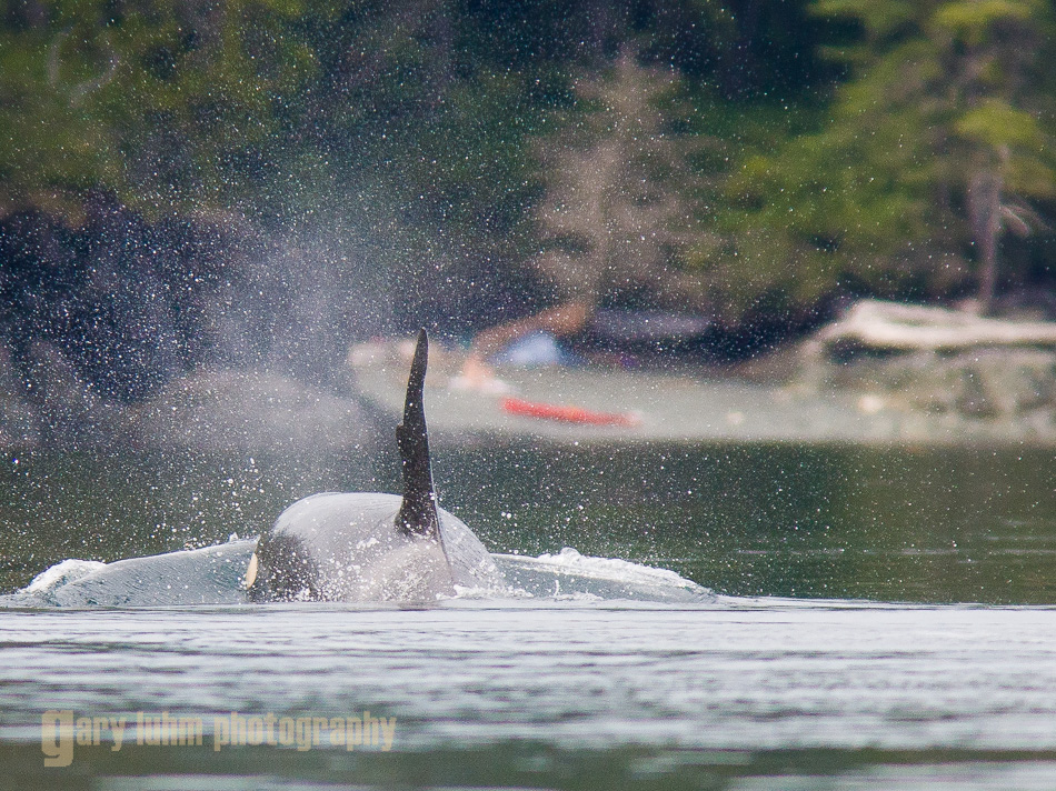 Orca Whale approaches sea kayak camp on Johnstone Strait.