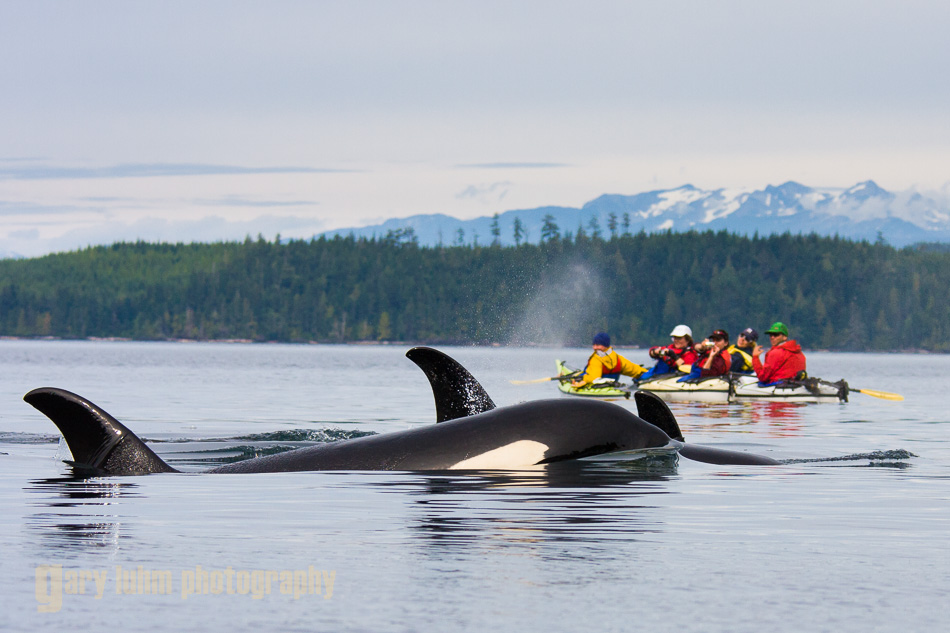Orca Whales (killer whale) with kayakers rafted up on Johnstone Strait. (MR)