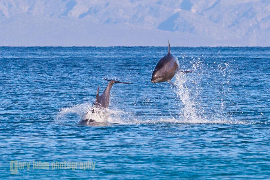 Common Dolphin, Baja