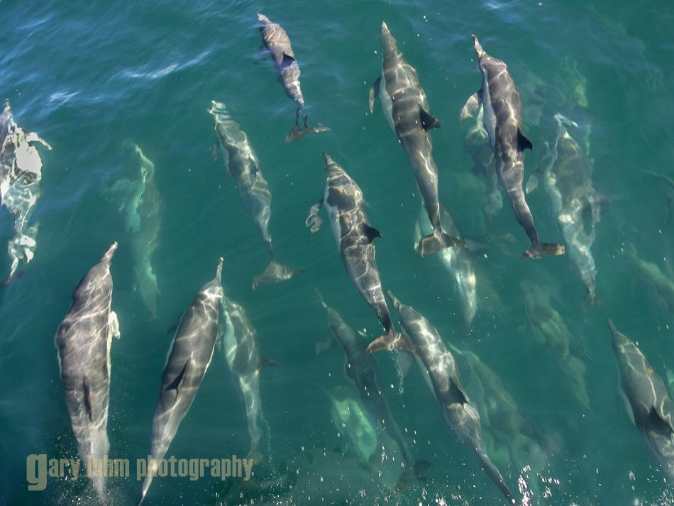 Common Dolphin gather at bow of Ursa Major, Sea oF Cortez, Baja, Mexico.
