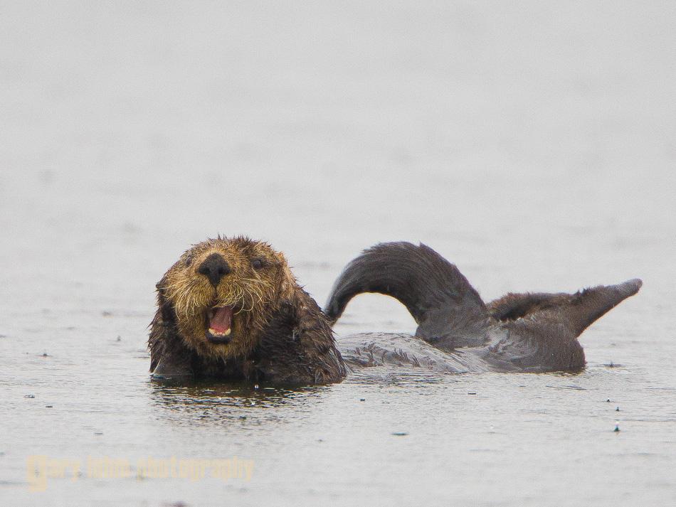 Sea otter near Chichagof Island, Alaska.