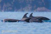 Bottlenose Dolphin, Baja