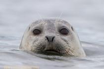 Harbor Seal, Washington State.