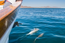 Common Dolphin off bow of yacht Ursa Major in Sea of Cortez, MX. (MR).