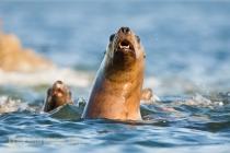 Agressive Stellar Sea Lions in Southeast Alaska.