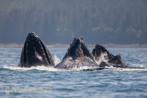 Humpback whale, bubblenet feeding, Frederick Sound, Alaska, USA.