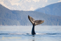 Humpback Whale calf playfully flips its tail. Icy Strait, SE Alaska.