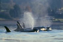 Orca, L-pod, in Dyes Inlet in 1997, Puget Sound, Washington State.