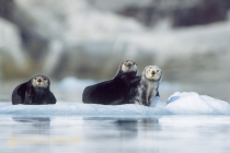 Sea otters on ice berg near Nellie Juan glacier, Prince William Sound, Alaska.