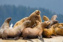 Glacier Bay, Stellar sea lions