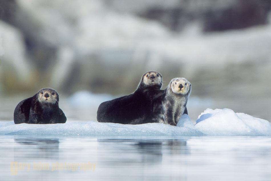 Sea otters on ice berg near Nellie Juan glacier, Prince William Sound, Alaska.