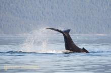 Humpback whale calf exuberant tail slap, Icy Strait, SE Alaska, USA.