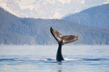 Humpback Whale calf playfully flips its tail. Icy Strait, SE Alaska.