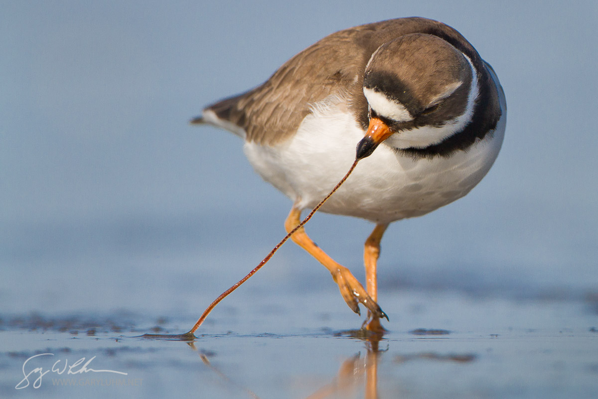USA, Washington State. A Semipalmated Plover (Charadrius semipalmatus) pulls a worm from a Pacific Ocean beach during spring migration.