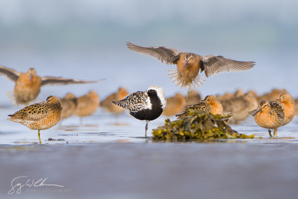 USA, Washington State. Shorebirds including Black-bellied Plover (Pluvialis squatarola) and Short-billed Dowitcher (Limnodromus griseus) at rest as the tide comes in. Spring migration on a Washington State beach.
