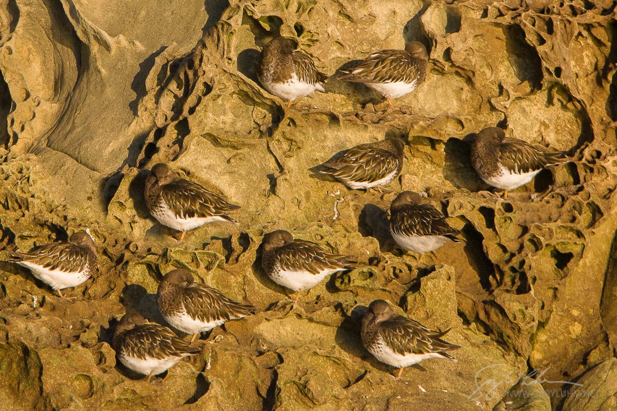 Roosting Black Turnstones, Wildcat Cove, Chuckanut Bay, Puget Sound, Washington.