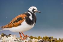 Ruddy Turnstone, breeding plumage, Auke Bay, Juneau, Alaska.