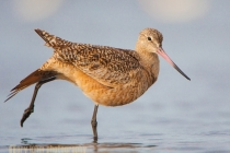Marbled Godwit, Elkhorn Slough