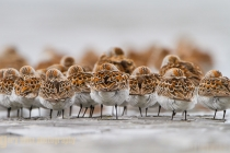 USA, Bottle Beach, Grays Harbor, Washington. Western Sandpipers rest at high tide during spring migration, with Dunlin behind.
