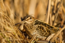 USA. A Common Snipe (Gallinago gallinago) sits camoflaged against some dried vegetation in a freshwater marsh environment.