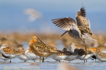 Short-billed Dowitcher, Western Sandpiper and Dunlin roost at Bottle Beach, Grays Harbor, Washington.