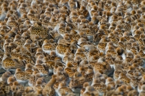 USA, Washington State. A pattern of shorebirds, mostly western sandpiper and a few dunlin and dowitcher, at Bottle Beach on Grey's Harbor during spring migration. Digital composite.