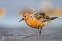 USA, Washington State. A Red Knot (Calidris canutus) in breeding plumage in spring migration on a Washington State beach.