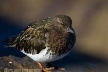 USA, Washington State. A Black Turnstone (Arenaria melanocephala) rests on a rock at high tide along the Olympic Coast.