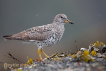 USA, Washington State. Eye-level view of a breeding plumage Surfbird, perched on an intertidal rock in Chuckanut Bay, Puget Sound, Washington.