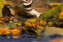 USA, Washington State, Seattle. A Killdeer forages in fall-yellowed lily pads in Seattle's Union Bay, Lake Washington.