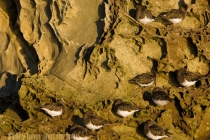 Roosting Black Turnstones, Wildcat Cove, Chuckanut Bay, Puget Sound, Washington.