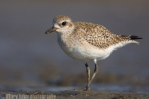 black-bellied plover, elkhorn slough, ca