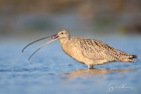 North America, USA, California, Elkhorn Slough, Long-billed Curlew.