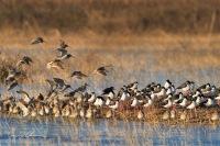 Dowitcher, Stilt, flight, roost. Vic Fazio Yolo Bypass Wildlife Area, California.