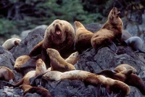 Stellar Sea Lions. Stellar Sea Lion bull barks from the colony near The Brothers Island group, Southeast Alaska.
