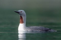 Red-throated Loon. Red-throated Loon in breeding plumage, Red Bluff Bay, Baranof Island, Alaska.