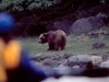 Brown (Grizzly) Bear. A Brown Bear grazes on sedges by a quiet saltwater lagoon on Yakobi Island. A sea kayaker looks on.