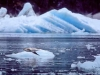 Endicott Arm. Harbor seal and pup, and glacial ice from the Dawes Glacier, Endicott Arm.