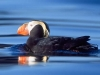Tufted Puffin. A Tufted Puffin floats on the waters of Sitka Sound near St. Lazaria NWR.