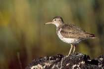 Spotted Sandpiper. A Spotty on Sparks Lake, Oregon, just beginning to lose it\'s breeding plumage spots.