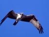 Osprey. Out fishing on shallow Sparks Lake, Oregon