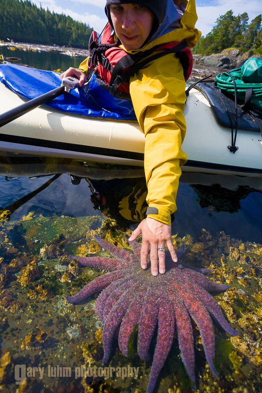 Female kayaker reaches out to touch sunflower sea star. Johnstone Strait, Vancouver Island, British Columbia, Canada. (MR).