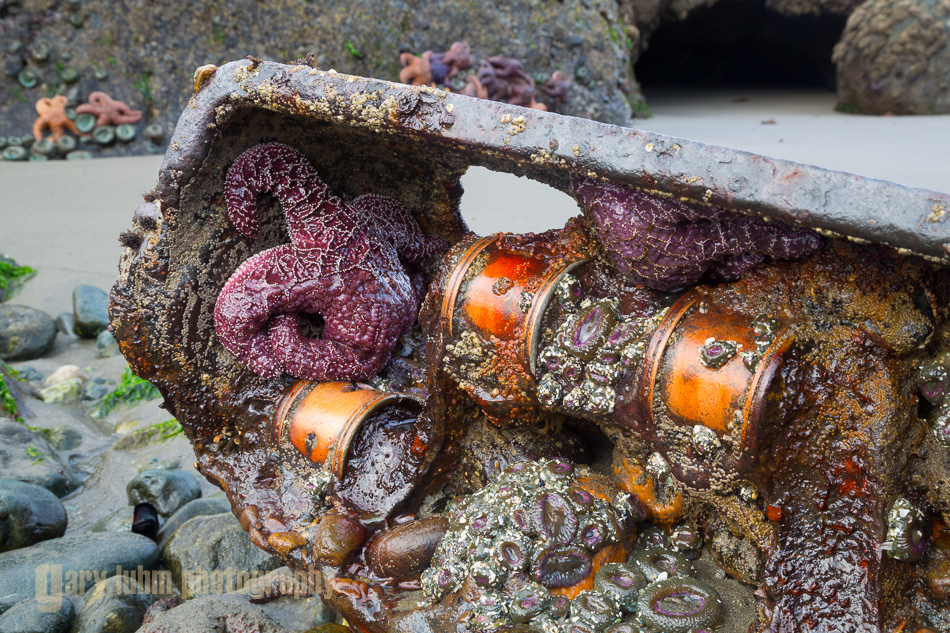 Crankcase from shipwreck provides a home for intertidal sea stars and anemones. Point-of-Arches, Olhympic National Park, Washington State.