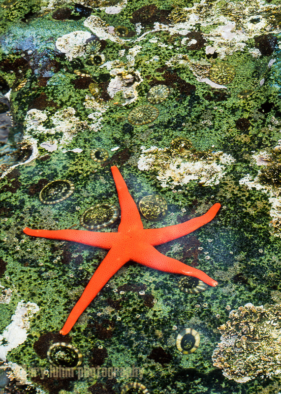 Blood star and limpets, Botanical Beach, Vancouver Island, Canada.