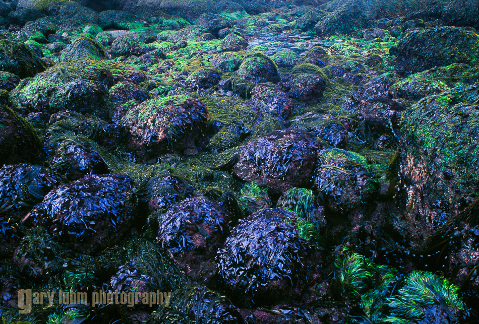 Pattern of intertidal rocks, kelp and sea lettuce. Point-of-Arches, Olympic National Park, Washington State.