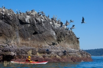 USA, WA, Olympic National Park. Male sea kayaker and brown pelicans (Pelecanus occidentalis) at offshore rock near Toleak Point, Olympic coast, Washington (MR).