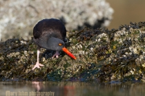 Black Oystercatcher (Haematopus moquini) prys a barnacle from an intertidal rock on a saltwater bay in Washington State.