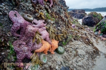 Low tide at Point of Arches on the Olympic Coast reveals Ochre sea stars (Pisaster ochraceus), giant green anemone (Anthopleura xanthogrammica) and other intertidal life, Olympic National Park, Washington State. Digital composite.
