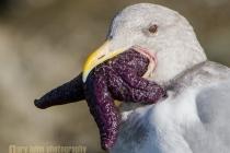 Glaucous-winged Gull, basic plumage, feeding, purple Ochre Sea Star. Chuckanut Bay, Washington State.