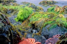 Sunflower sea stars on a minus tide, Afognak Island, Kodiak archipelago, Alaska.